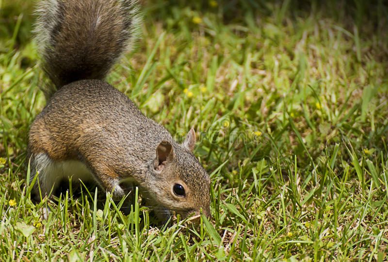 Nyfiken och gullig brun ekorre i ett grönt fält royaltyfria foton