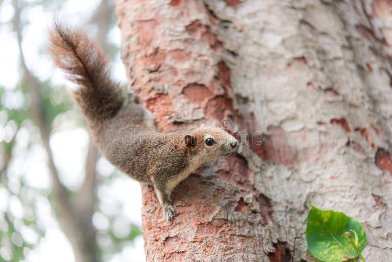 Nyfiken röd ekorre som kikar bak trädstammen i parkera royaltyfri fotografi