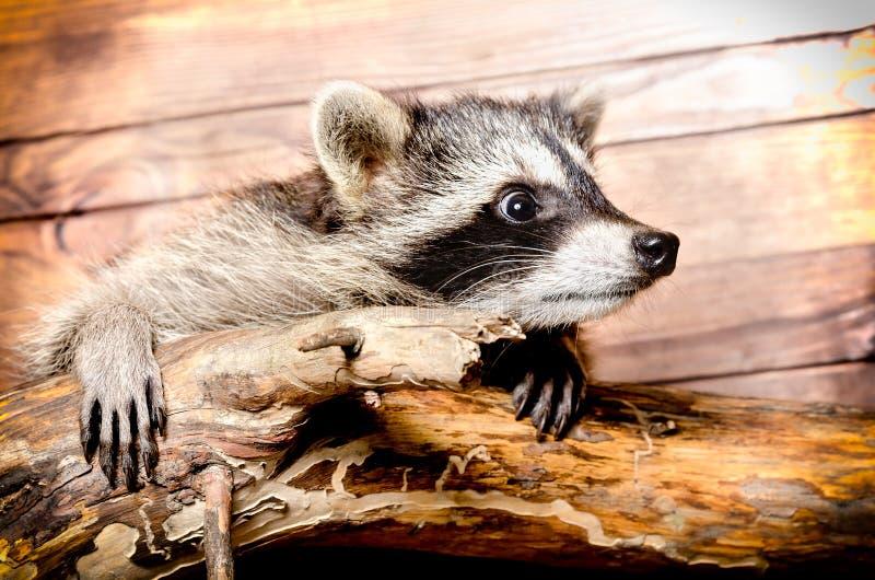 nyfiken raccoon royaltyfri fotografi