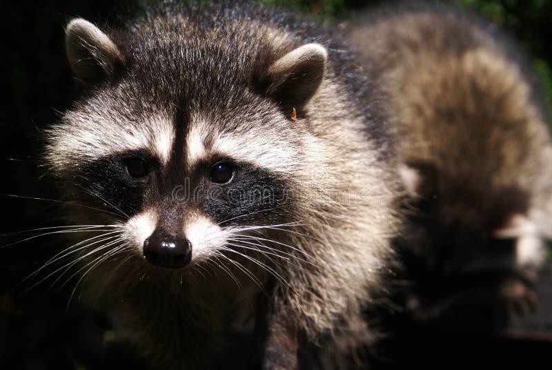 nyfiken raccoon arkivbilder