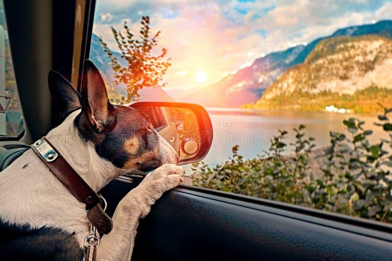 Nyfiken resande valphund i bilen som ser fjällängbergsolnedgången över den österrikiska fjällängsjön Begrepp för familjsemester royaltyfri fotografi