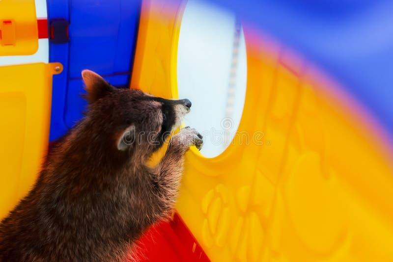 Nyfiken tvättbjörn, ett husdjur royaltyfri bild
