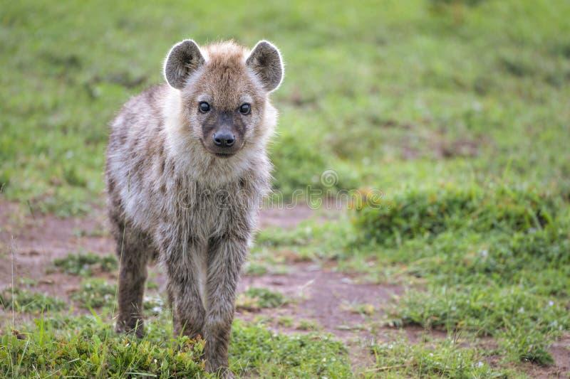 Nyfiket behandla som ett barn hyenan royaltyfri bild