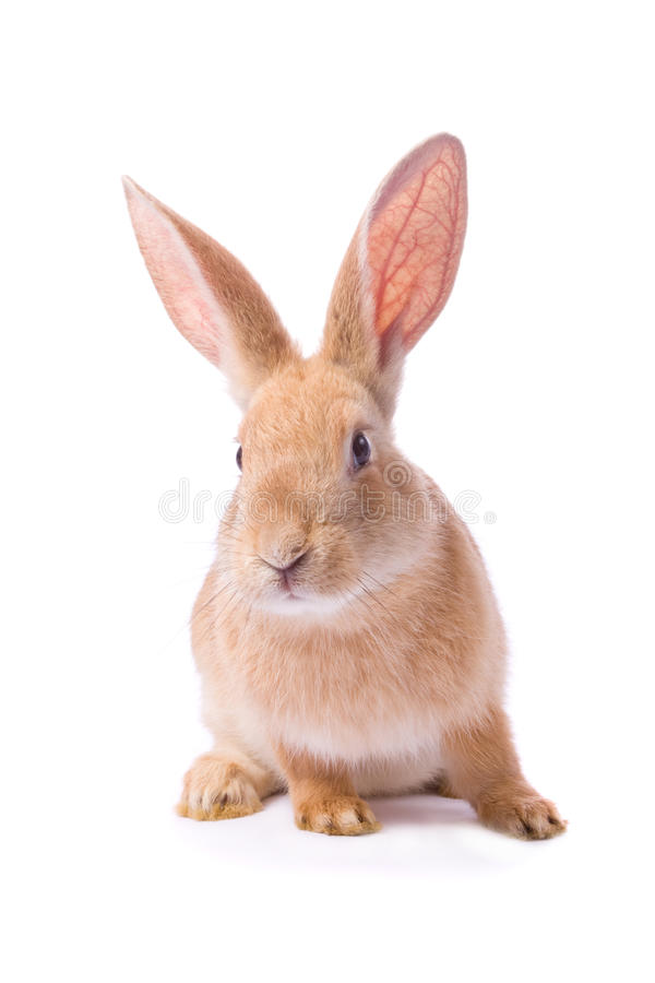 nyfiket kaninredbarn arkivfoton