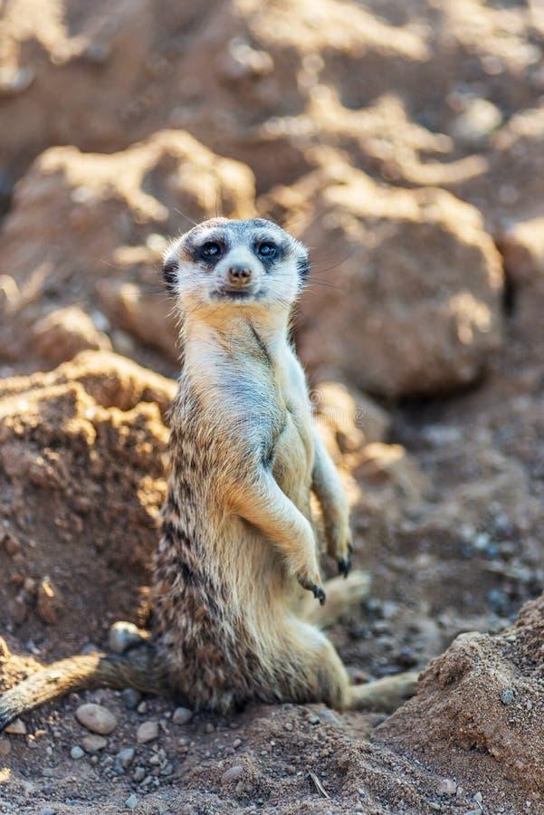 Nyfiket och fråga hållande ögonen på raksträcka för surikat eller för meerkat och sitta bekvämt arkivfoton