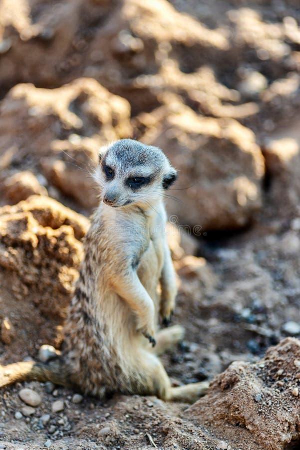 Nyfiket och fråga hållande ögonen på raksträcka för surikat eller för meerkat och sitta bekvämt royaltyfri fotografi