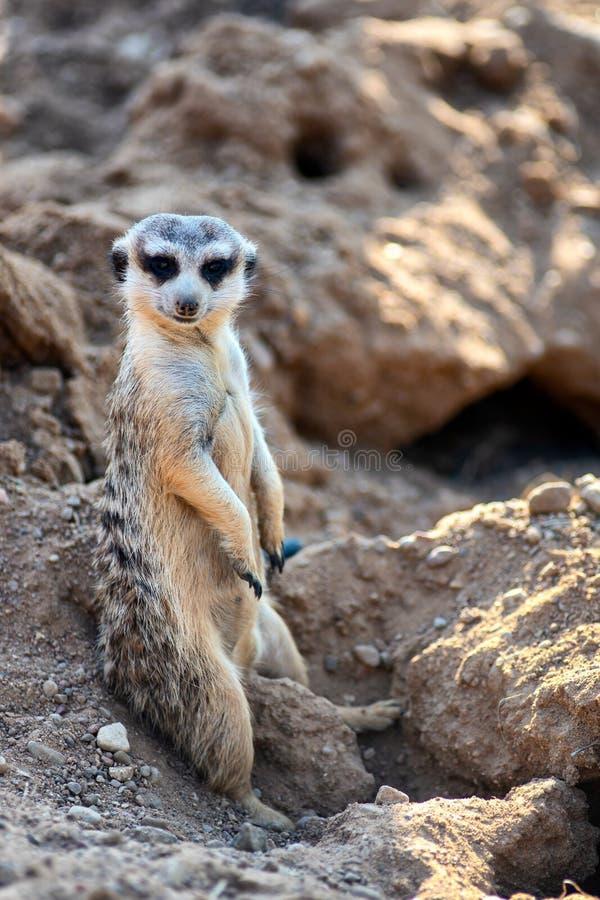 Nyfiket och fråga hållande ögonen på raksträcka för surikat eller för meerkat och sitta bekvämt arkivbild
