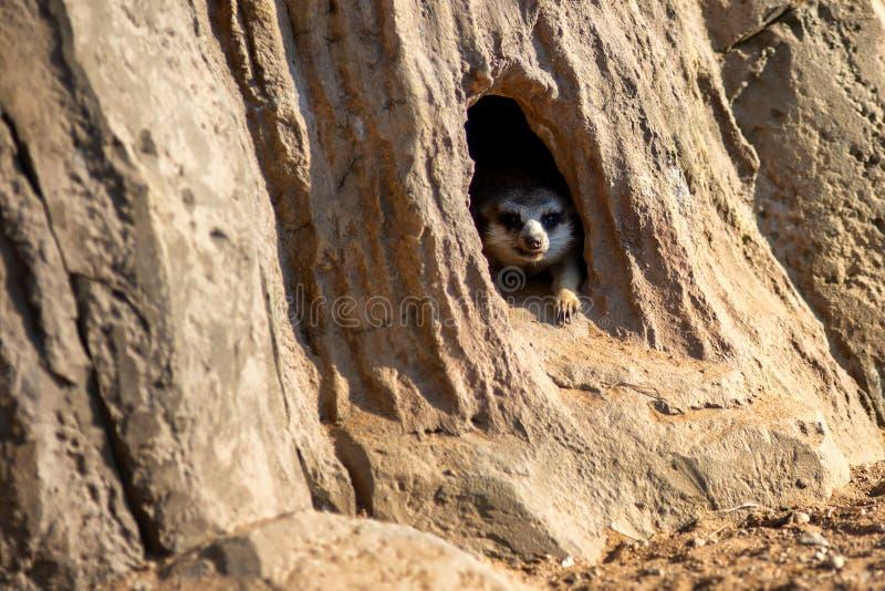Nyfiket och fråga surikat eller meerkat som håller ögonen på runt om hålet royaltyfria bilder