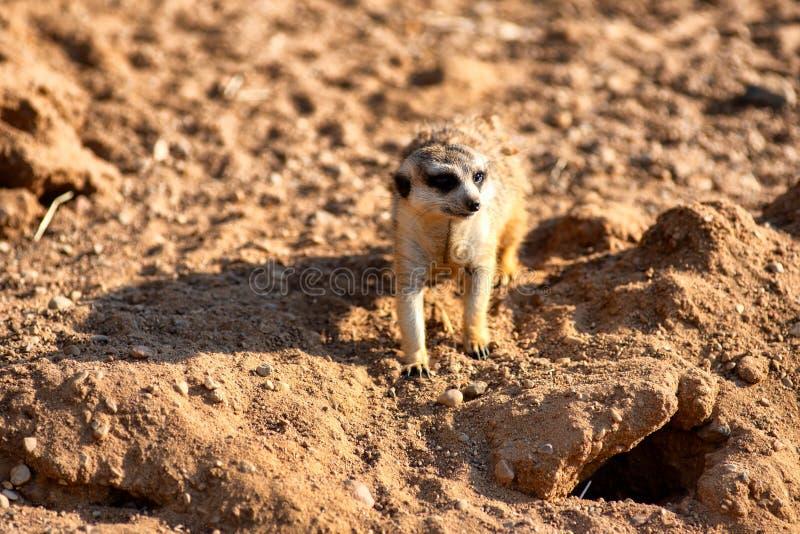 Nyfiket och fråga surikat eller meerkat som omkring håller ögonen på royaltyfri bild