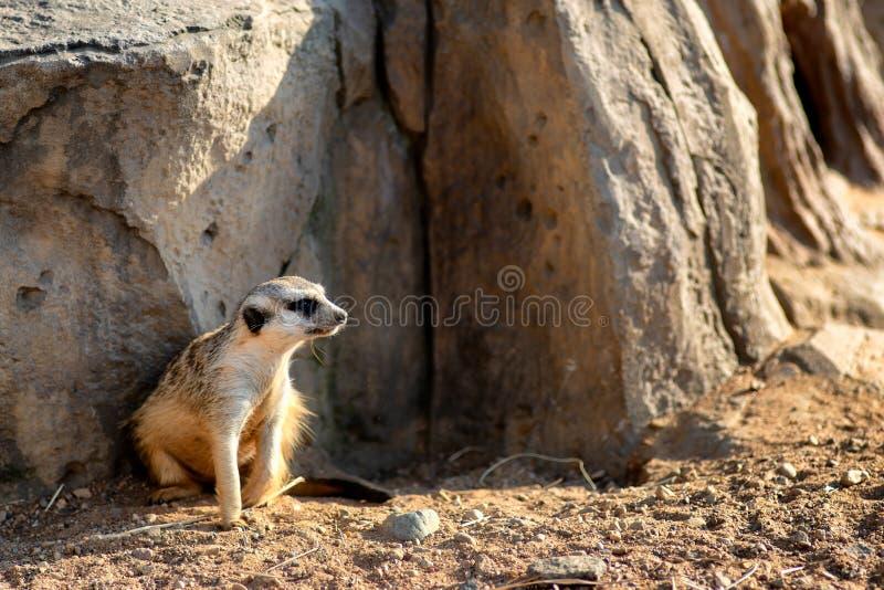 Nyfiket och fråga surikat eller meerkat som omkring håller ögonen på arkivbild