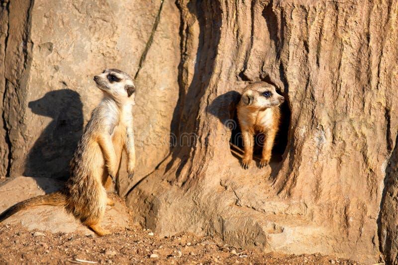 Nyfiket och fråga surikats eller meerkats som omkring håller ögonen på royaltyfria bilder