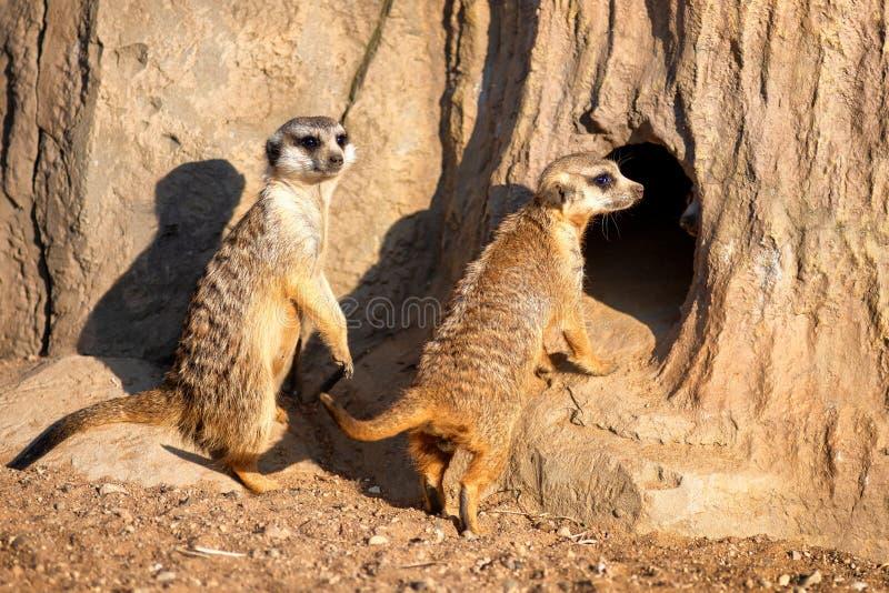 Nyfiket och fråga surikats eller meerkats som omkring håller ögonen på arkivbilder
