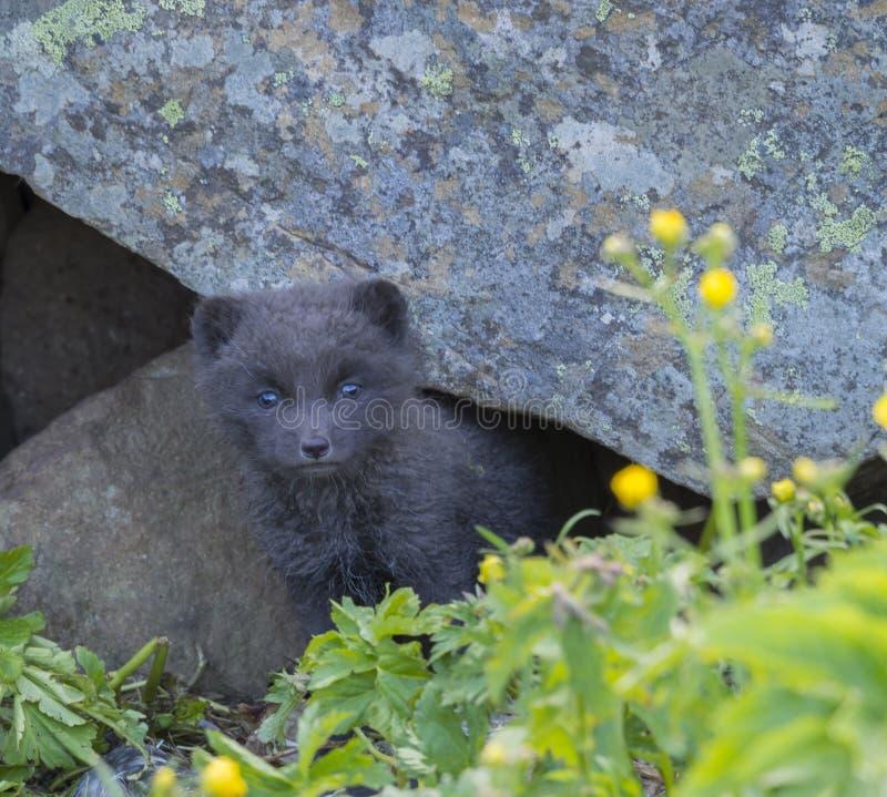 Nyfiket se för ung skämtsam för gröngölingräv för arktisk räv för Alopex beringensis för lagopus från deras lya under stenen, grö royaltyfria bilder