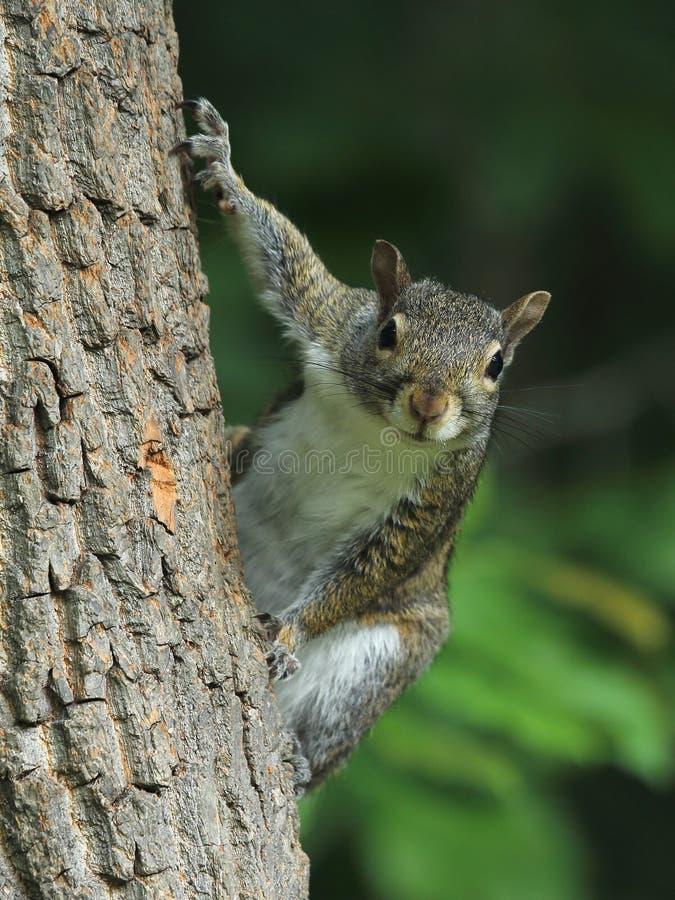 Nyfikna östliga Gray Squirrel arkivbild