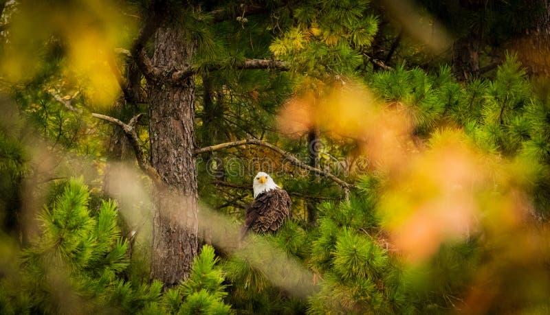 Nyfikna amerikanska skalliga Eagle arkivbilder