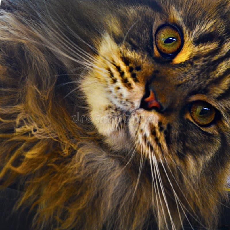 Nyfikna Maine Coon Cat utforskar kameran arkivfoto