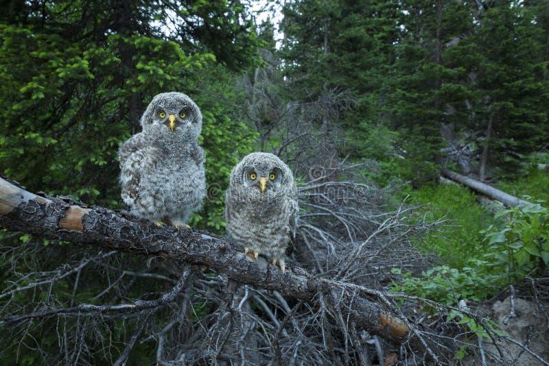 Nyfikna Owl Chicks arkivbilder