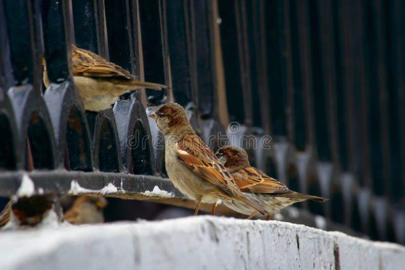 nyfikna sparrows för stad arkivbilder