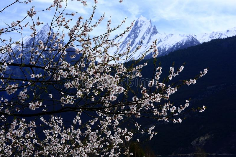 Nyingchi brzoskwini okwitnięcie fotografia stock