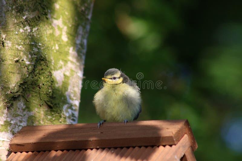 Nyligen bliven flygfärdig paruscaeruleus för blå mes på nestbox arkivbilder