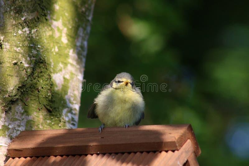 Nyligen bliven flygfärdig paruscaeruleus för blå mes på nestbox royaltyfri foto
