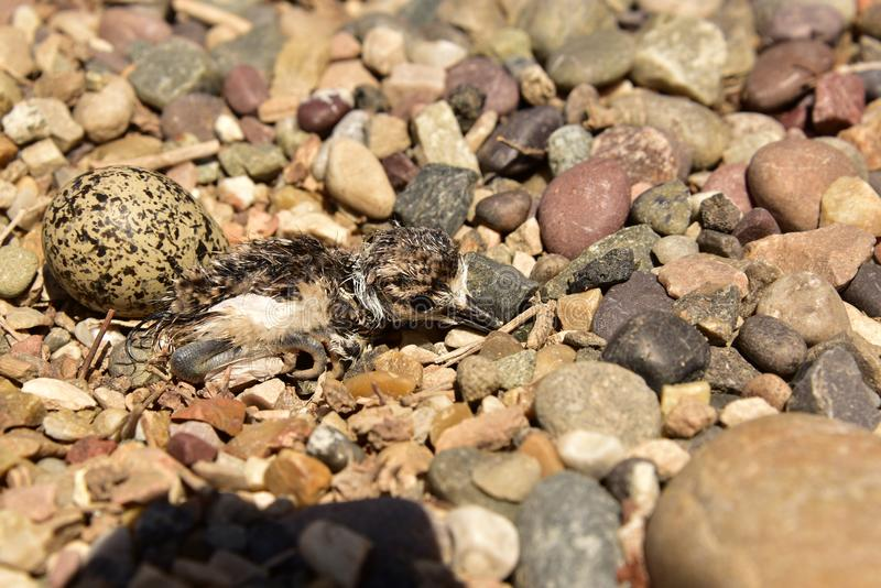 Nyligen kläcka Killdeerfågelungen som dyker upp från det ägget för ` s arkivbilder