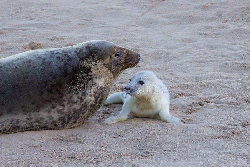 Nyligen uthärdad Grey Seal valp med dess mum royaltyfri fotografi