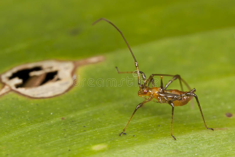 Download Nymph Assassin Bug stock photo. Image of assassin, close - 28394992