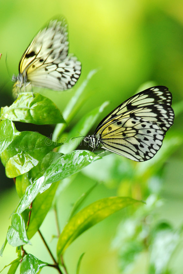 Download Nymph butterfly stock image. Image of plant, animal, butterfly - 7106009