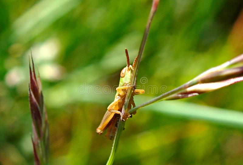 Green Grasshopper Nymph. The nymph of the Melanoplus bivittatus or common green grasshopper sitting on a grass stem in the Uk in early June royalty free stock photos