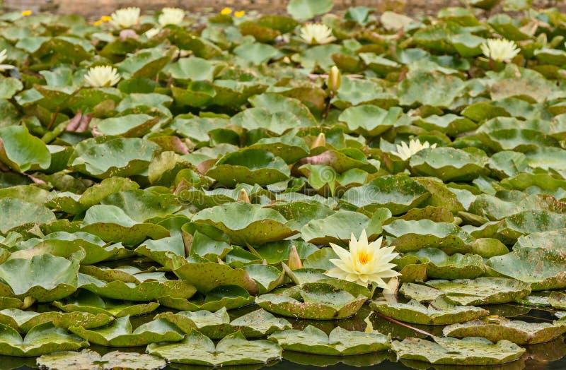 Nymphaea, зеленые листья аквариумного растени атакованного жуком стоковые фото
