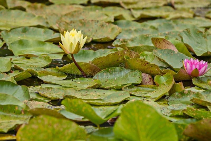Nymphaea, зеленые листья аквариумного растени атакованного жуком стоковое изображение