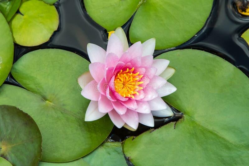 Nymphaea, розовая лилия воды, взгляд сверху стоковые изображения rf