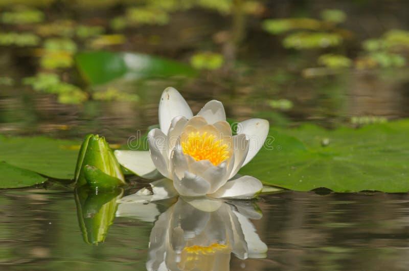 Nymphaea alba - европейская лилия белой воды стоковые изображения