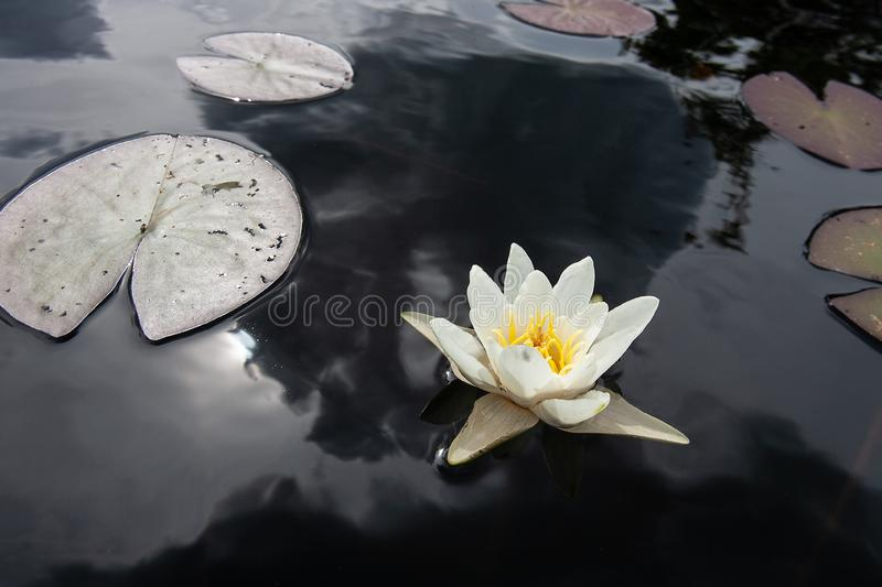 Nymphaea alba bloom. Water lily blossom among green leaves and blue water. White lotus with yellow pollen in bog. stock photography