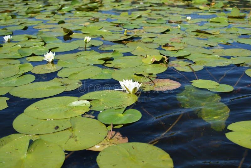 Nymphaea alba - europäische Wildwasserlilie lizenzfreie stockfotografie
