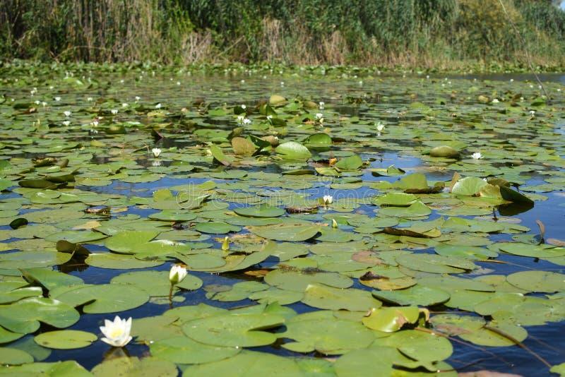 Nymphaea alba - europäische Wildwasserlilie lizenzfreies stockbild