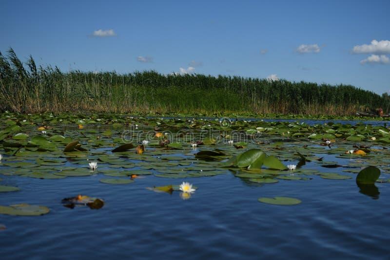 Nymphaea alba - europäische Wildwasserlilie lizenzfreies stockfoto