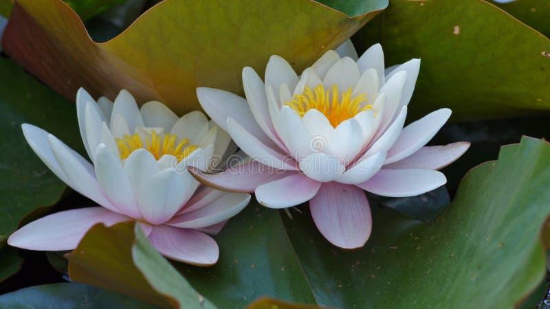 Nymphaea alba - Waterlily - Aquatische vegetatie stock foto