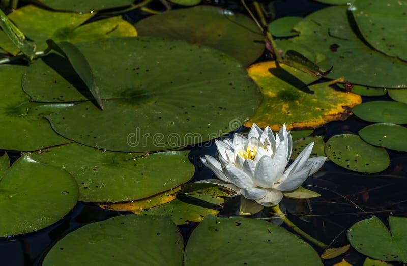 Nymphaea alba  photo stock