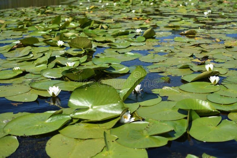 Nymphaea albumy - Europejska biała wodna leluja zdjęcia stock