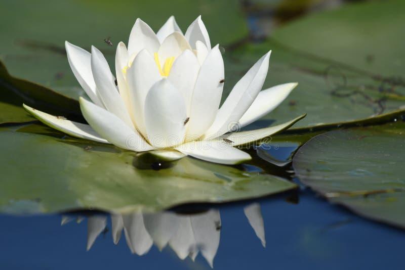 Nymphaea albumy - Europejska biała wodna leluja zdjęcie royalty free