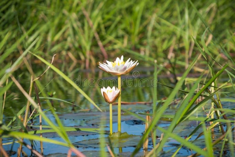 Nymphaea ampla Salisb. White water lily, swamp lotus in Beung Kiet Nnong wetland ramsar stock image