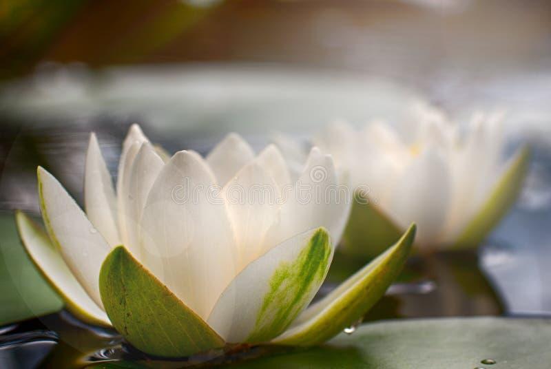 Nymphaea bianca alba, comunemente chiamato ninfea o ninfea 5 immagini stock