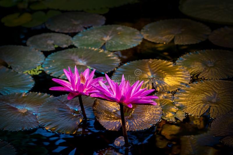 Nymphaea Black Princess blossom, beautiful water flower, blooming red lotus, summer night at the pond royalty free stock image
