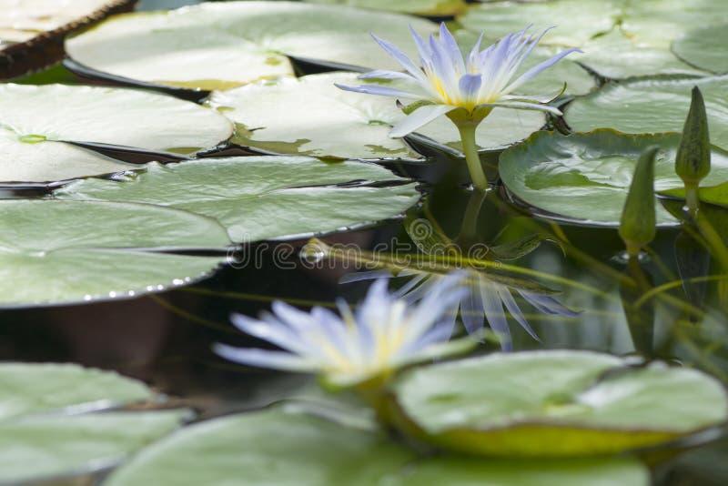 Nymphaea Caerulea - Lotus azul de Egito fotos de stock royalty free