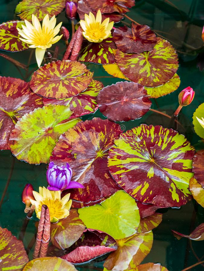 Nymphaea diversity. Group of aquatic plants with different types of Nymphaea, floral, pure, water, nature, lake, decorative, emotion, gardening, lily, purity royalty free stock image