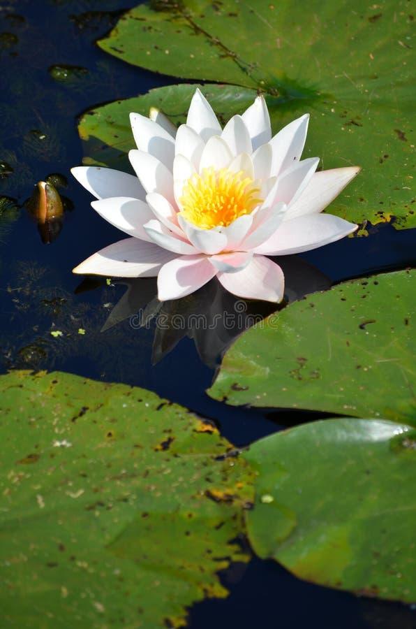 Nymphaea do lírio de água branca alba imagens de stock royalty free