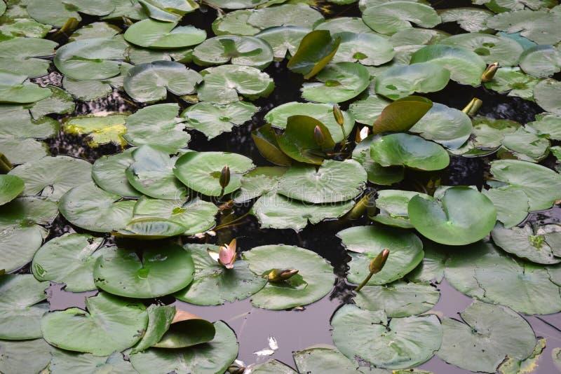 Nymphaea hermoso Bud Of Pink Flower en el agua verde de la charca en Vietnam imagenes de archivo