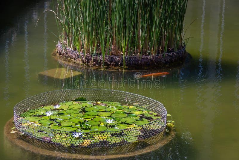 Nymphaea lotus flower and koi fish at Itamaraty Palace pond - Brasilia, Distrito Federal, Brazil. Nymphaea lotus flower and koi fish at Itamaraty Palace pond in stock image